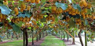 В Сочи начали собирать урожай киви