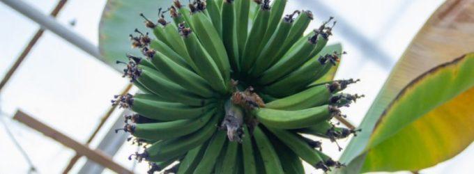 Сладкие, как из Африки: где выращивают белорусские бананы