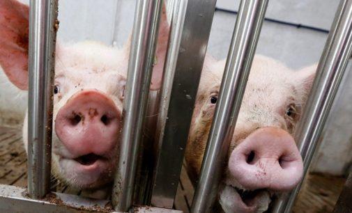 Минсельхоз: Инвесторы свинокомплекса в хабаровской ТОР хотят «соскочить» с проекта после вспышки ящура