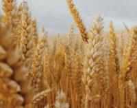 Минсельхоз США снизил прогноз производства казахстанской пшеницы