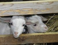 В Хабаровском крае впервые вложили миллионы в коз
