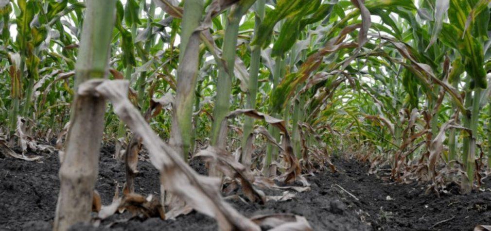 Аграрии сообщили о гибели урожая на юге Беларуси из-за аномальной жары
