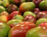Филиппины столкнулись с проблемами из-за манго