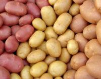 Польша направит 8 миллионов долларов на создание в Кашкадарье комплекса по выращиванию семян картофеля