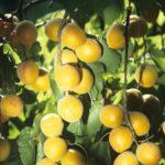 Узбекистан попал в тройку мировых лидеров по экспорту свежего абрикоса