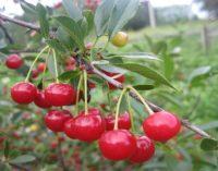 В Молдове площади садов сокращаются, а урожай растет