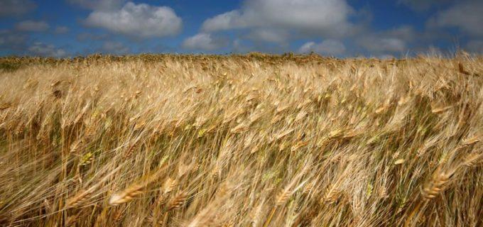 В Иркутской области начали уборку пшеницы и озимой ржи