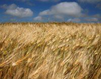 Нижегородские аграрии преодолели отметку в миллион тонн намолоченного зерна