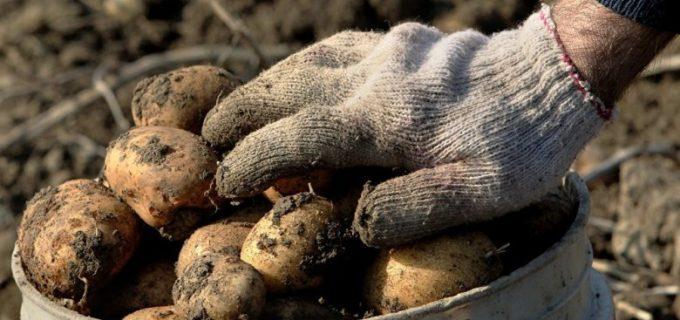 Почем картошка для народа: в Молдове сокращаются площади самой популярной культуры