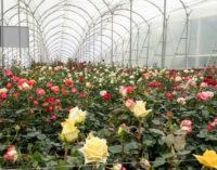Парниковый газ кенийских роз компенсируется