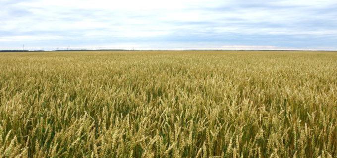 Пшеница для органического земледелия  под генетической защитой