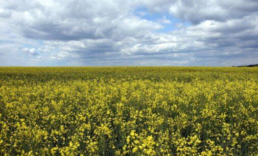 Рекордный урожай рапса ожидается в Удмуртии