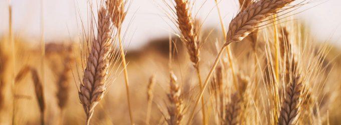 Минсельхоз: На следующей неделе цены на зерно стабилизируются и пойдут вниз