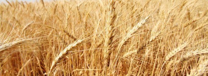 Интервенции помогли стабилизировать цены на зерно и муку