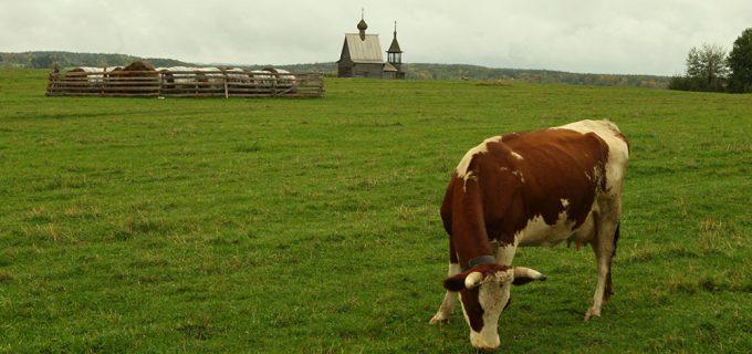 Сколько стоит обзавестись коровой и поросенком в деревне