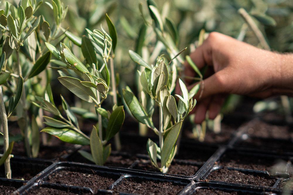 В Крыму создадут оливковый сад в теплице
