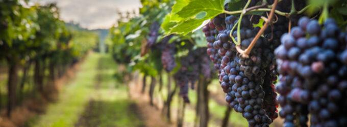 Виноград 26 сортов будут выращивать в Астраханской области