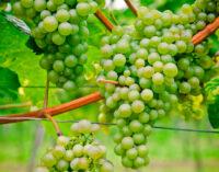 Виноделие как искусство