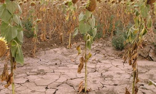Урожайность снизилась на 50% в районах Алтайского края из-за засухи