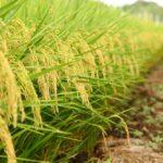 День поля риса прошёл в Краснодарском крае