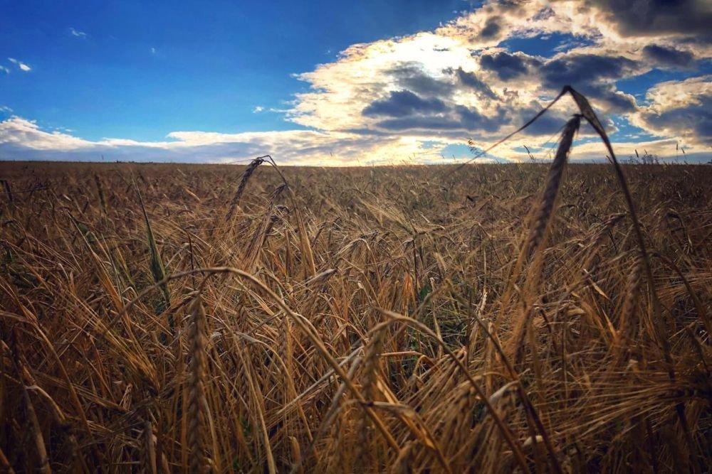 Самарская область соберет рекордный урожай зерновых