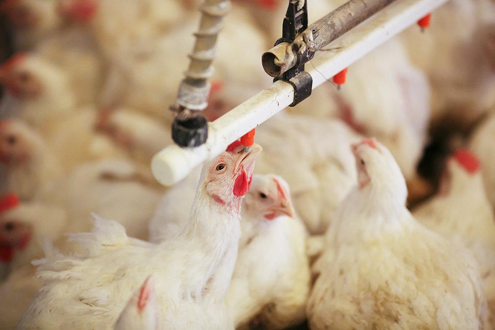 Россельхознадзор ограничил ввоз птицеводческой продукции