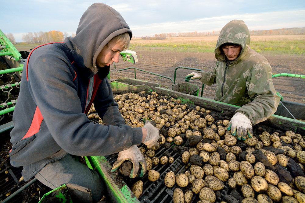 Вместо мигрантов Минсельхоз отправит на картошку студентов
