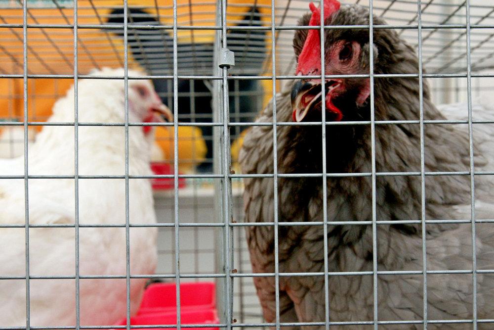 Китай на год вперед выкупил в Крыму куриные лапы и головы