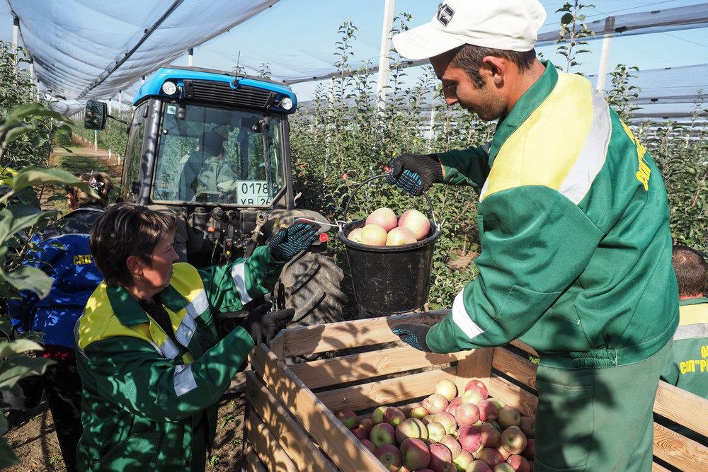 На Ставрополье спрогнозировали рекордный урожай яблок